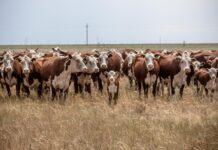 Коровы, сельское хозяйство